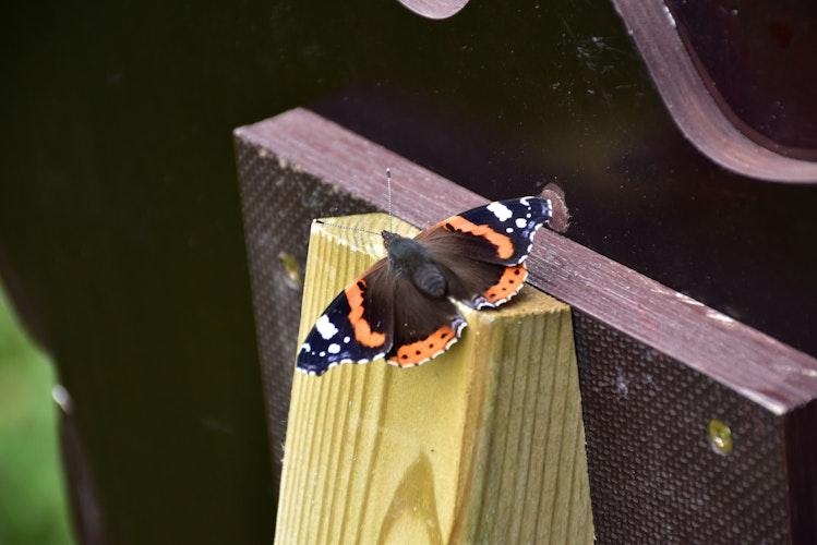 Neue Heimat: Jede Menge Schmetterlinge, darunter auch mancher Admiral, leben auf der Streuobstwiese. Foto: Lammert