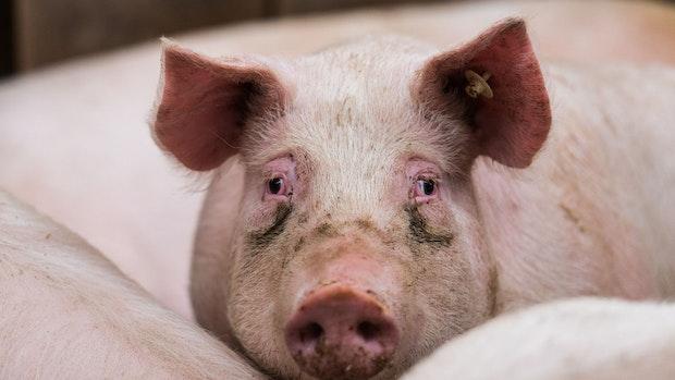 Schweinepest und Corona– Bauern spüren den Preisdruck