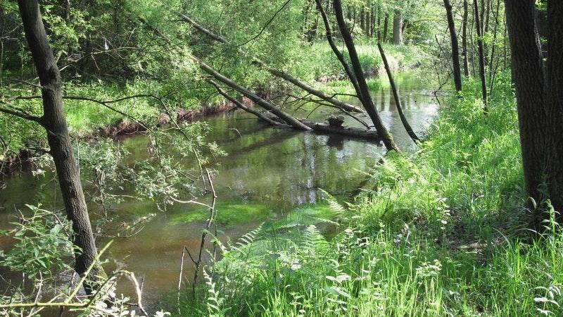 Bachlauf: Nach früherer Begradigung wieder naturnah entwickelter Bachlauf der Aue mit Unterwasservegetation. Foto: NLWKN