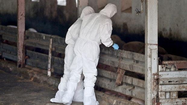 Fund von 850 toten Schweinen in Garrel soll politisches Nachspiel haben