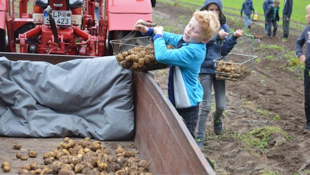 Kinder suchen beim Kartoffelfest die Knollen auf dem Acker