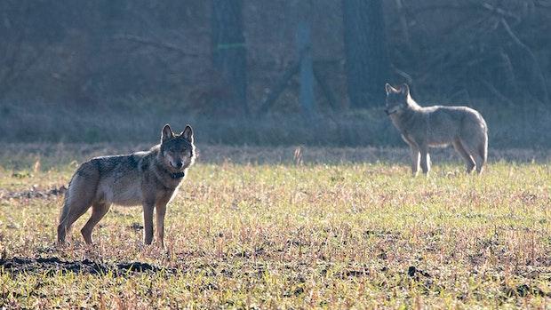 Landesregierung will Wölfe ins Jagdrecht aufnehmen
