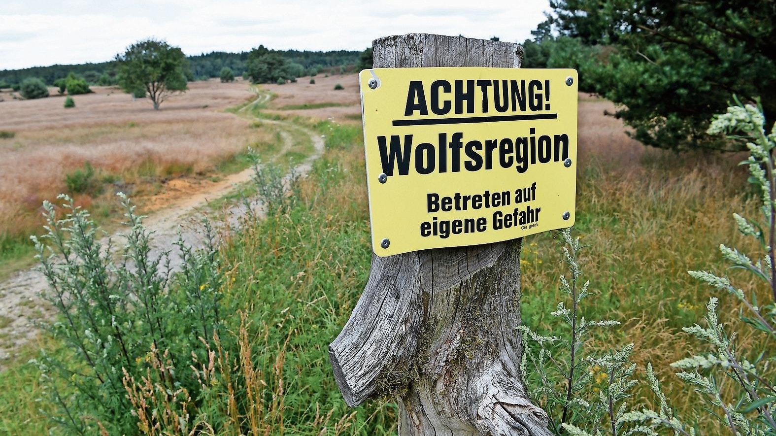 Heimisch geworden: Wolfsrudel  haben sich in Niedersachsen etabliert. Foto: dpa