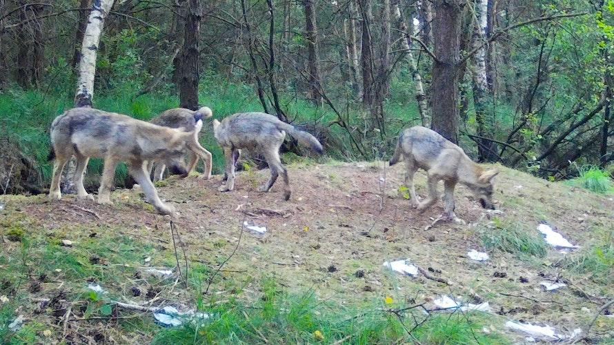 Die Aufnahme einer Wildtierkamera zeigt den aktuellen Nachwuchs Anfang August. Foto: Hans Hasper