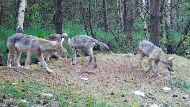 8 Wölfe streifen durch Telbrake
