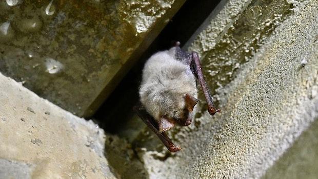 Winterquartiere schützen Fledermäuse