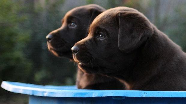 Corona-Langeweile: Warum Hundezüchter besorgt sind