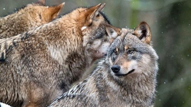 Was Sie über ein Fake-Video und echte Bilder vom Wolf wissen müssen