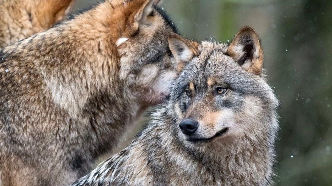 Wölfe im Winter: Hier aufgenommen im Wolfcenter Dörverden. Foto: M. Niehues