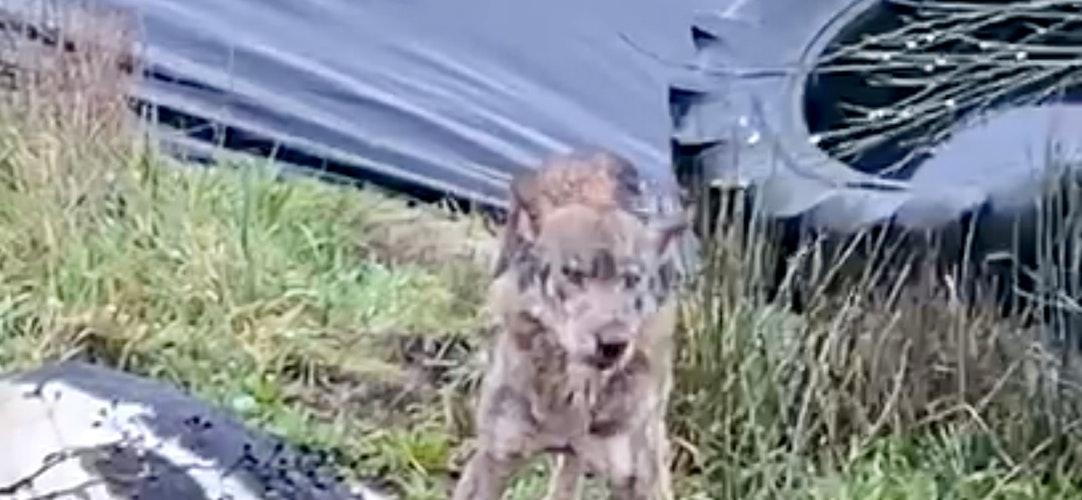 Mehr Hund als Wolf: Das Video mit diesem Tier an einem Rinderkadaver geistert per WhatsApp seit Monaten durch Deutschland. In Telbrake ist es nicht entstanden. Foto: Screenshot