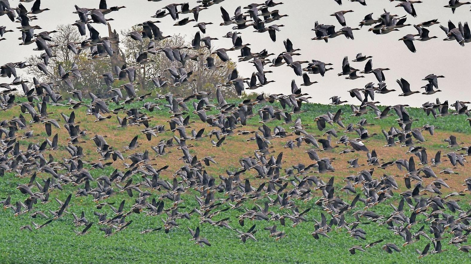 Virusträger: Wildgänse geben H5N8 weiter. Ihre Zahl hat in den vergangenen Jahren deutlich zugenommen. Foto: picture alliance/dpa/dpa-Zentralbild/Patrick Pleul
