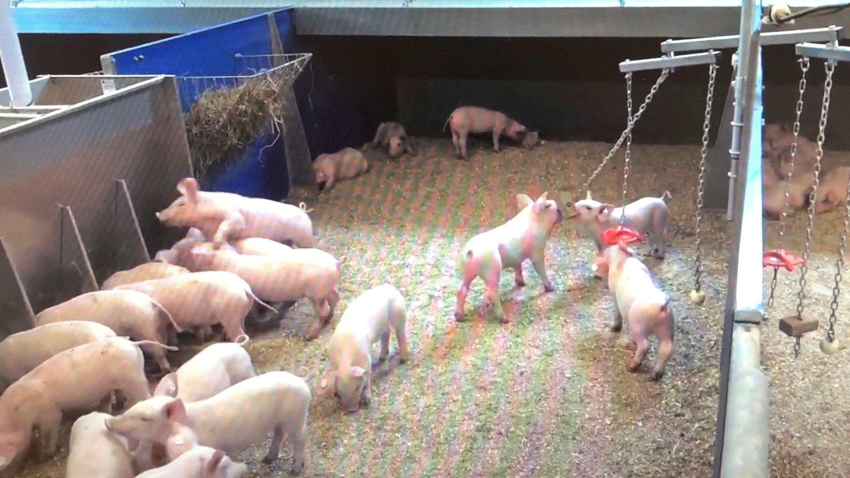 Viel Platz: Im Havito-Stall soll das Tierwohl der Schweine verbessert werden. Archivfoto: Böckmann