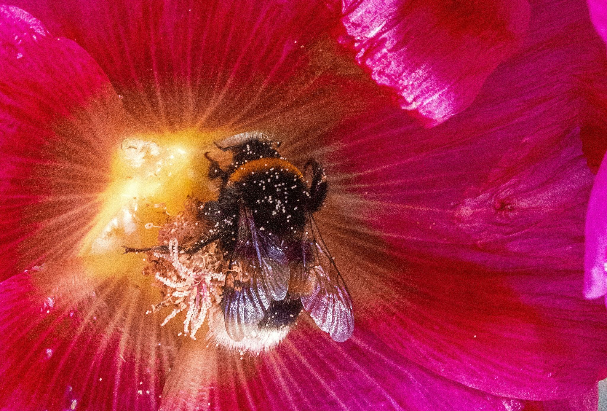 Eine Hummel sammelt Pollen. Foto: dpa/Büttner