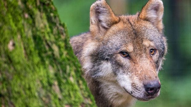 DJV: Künftig öfter Begegnungen mit Wölfen in Großstädten