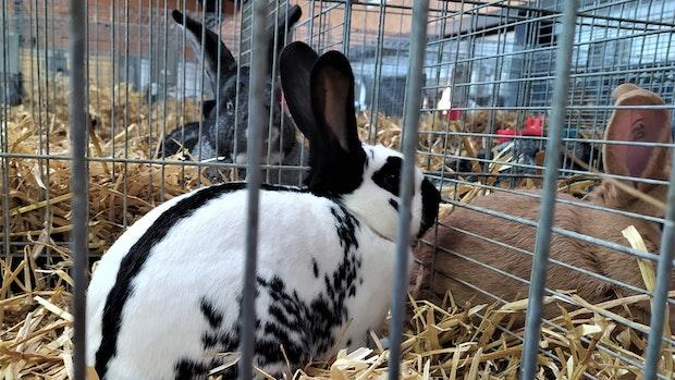 Kaninchenfans aus ganz Deutschland treffen sich in Gehlenberg