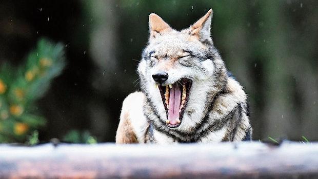 """Nach Wolfsabschuss: NABU kritisiert """"Wild-West""""-Methoden"""