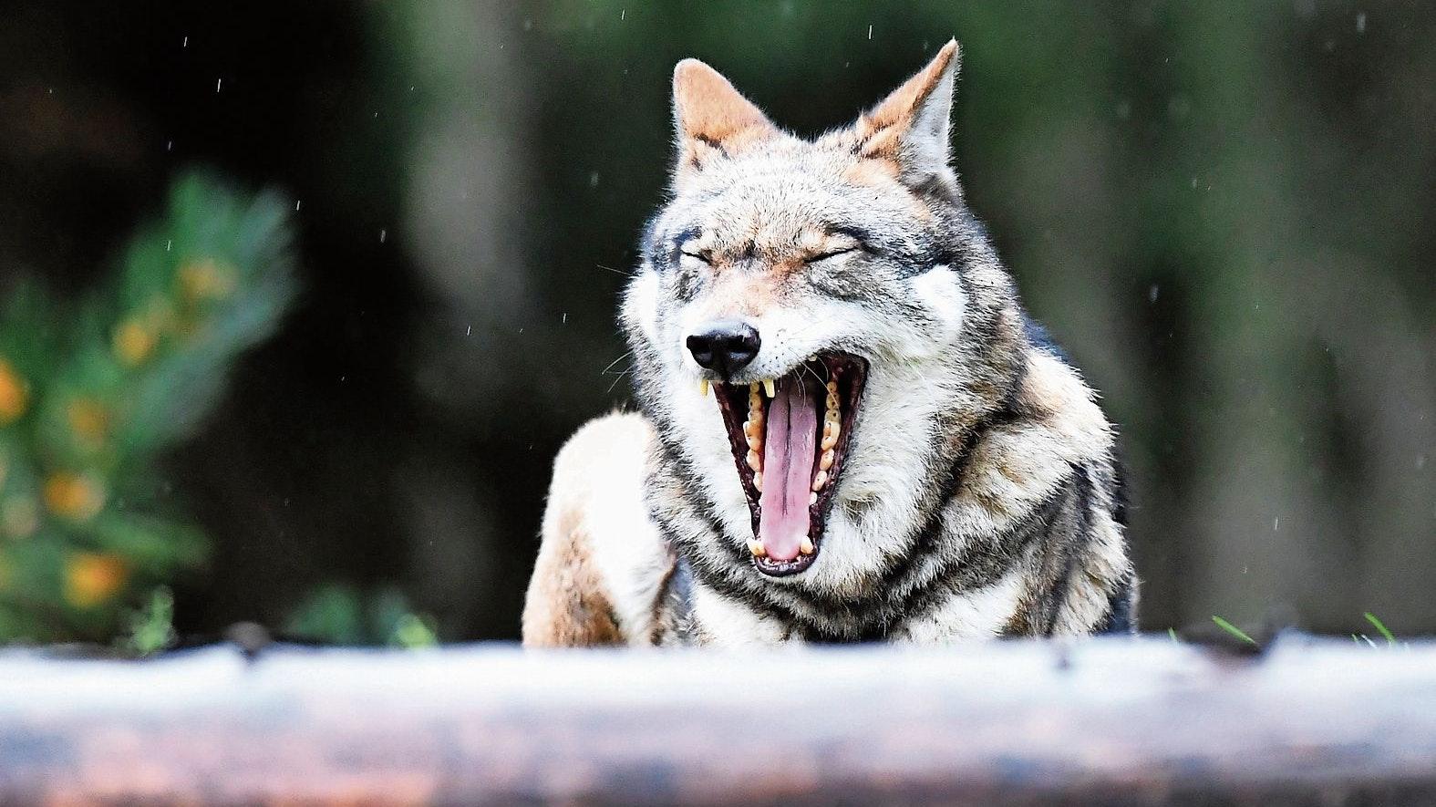 Streitobjekt Wolf: Der Abschuss einer Fähe bei Löningen stößt auf unterschiedliche Reaktionen. Foto: picture alliance/dpa | Carsten Rehder