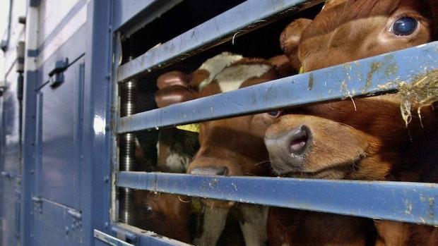 Niedersachsen will strengere Regeln für Tiertransporte