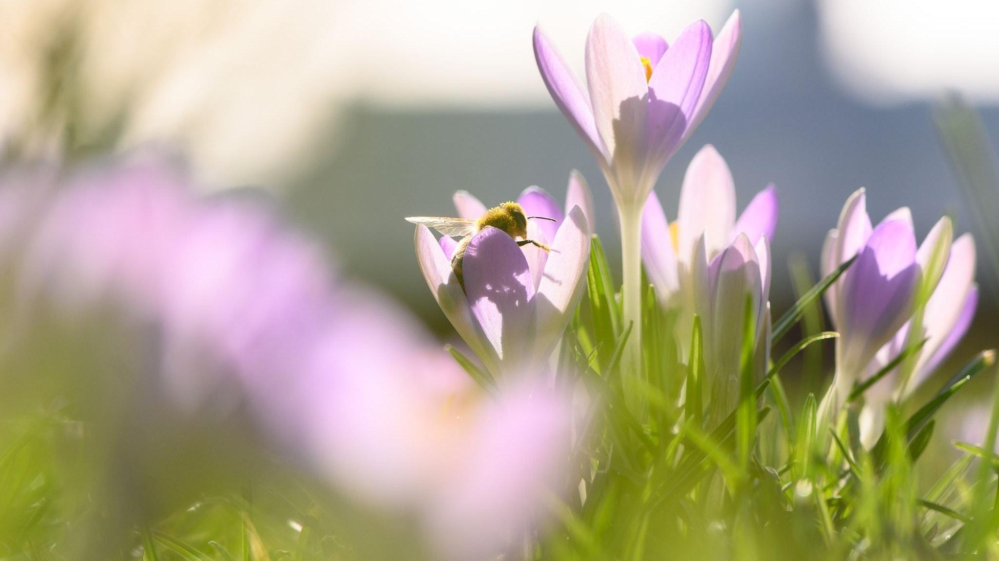 Der Frühling steht in den Startlöchern. Auf einer blühenden Krokusse am Elbufer in Dresden sind bereits erste Biene dabei, Blütenstaub zu verteilen. Foto: dpa/Kahnert