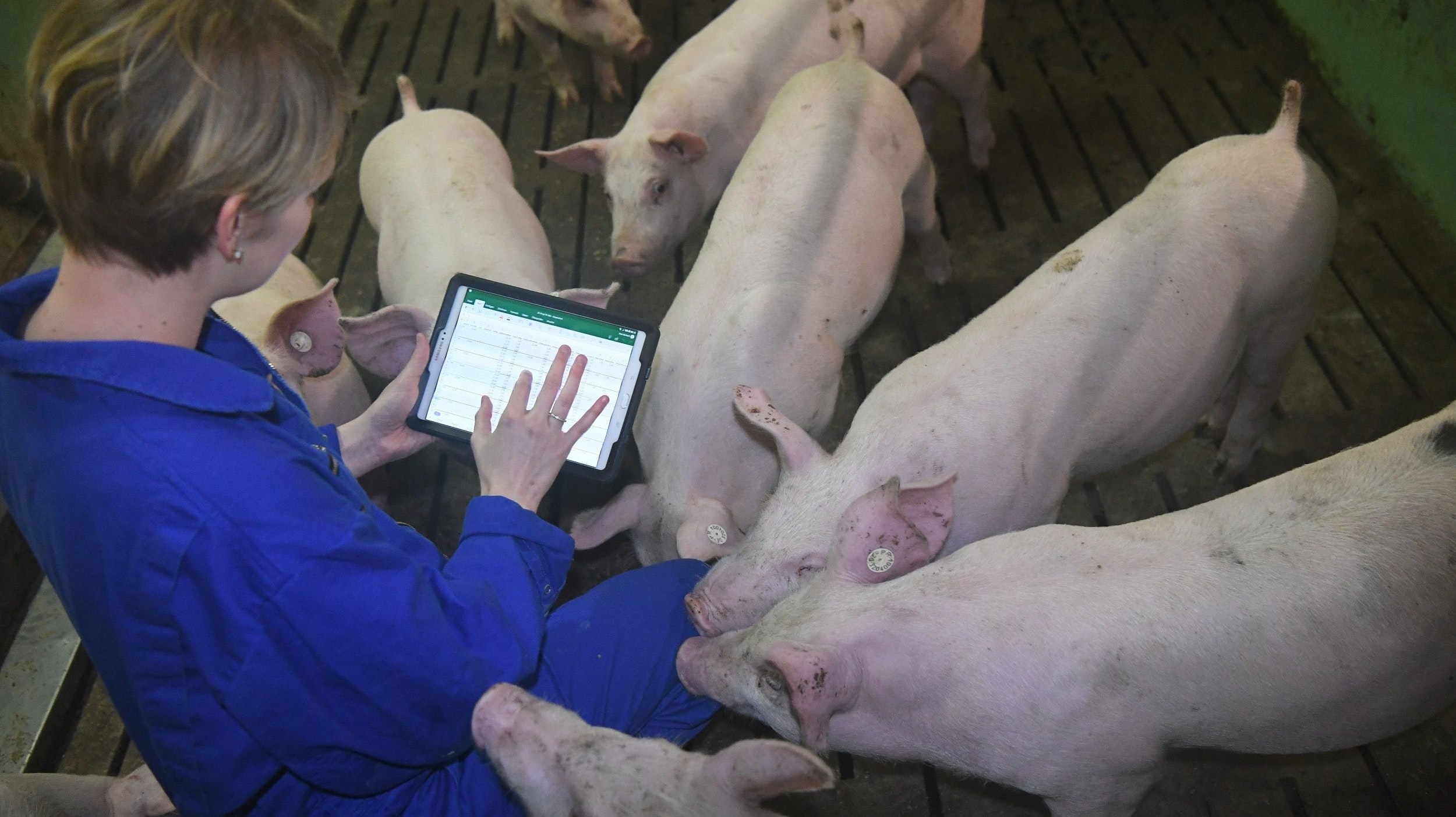 Digitalisierung im Stall: Mit einer App lässt sich das Tierwohlmanagement verbessern. Das ist ein Beispiel für die Tierhaltung der Zukunft. Foto: dpa/Rehder