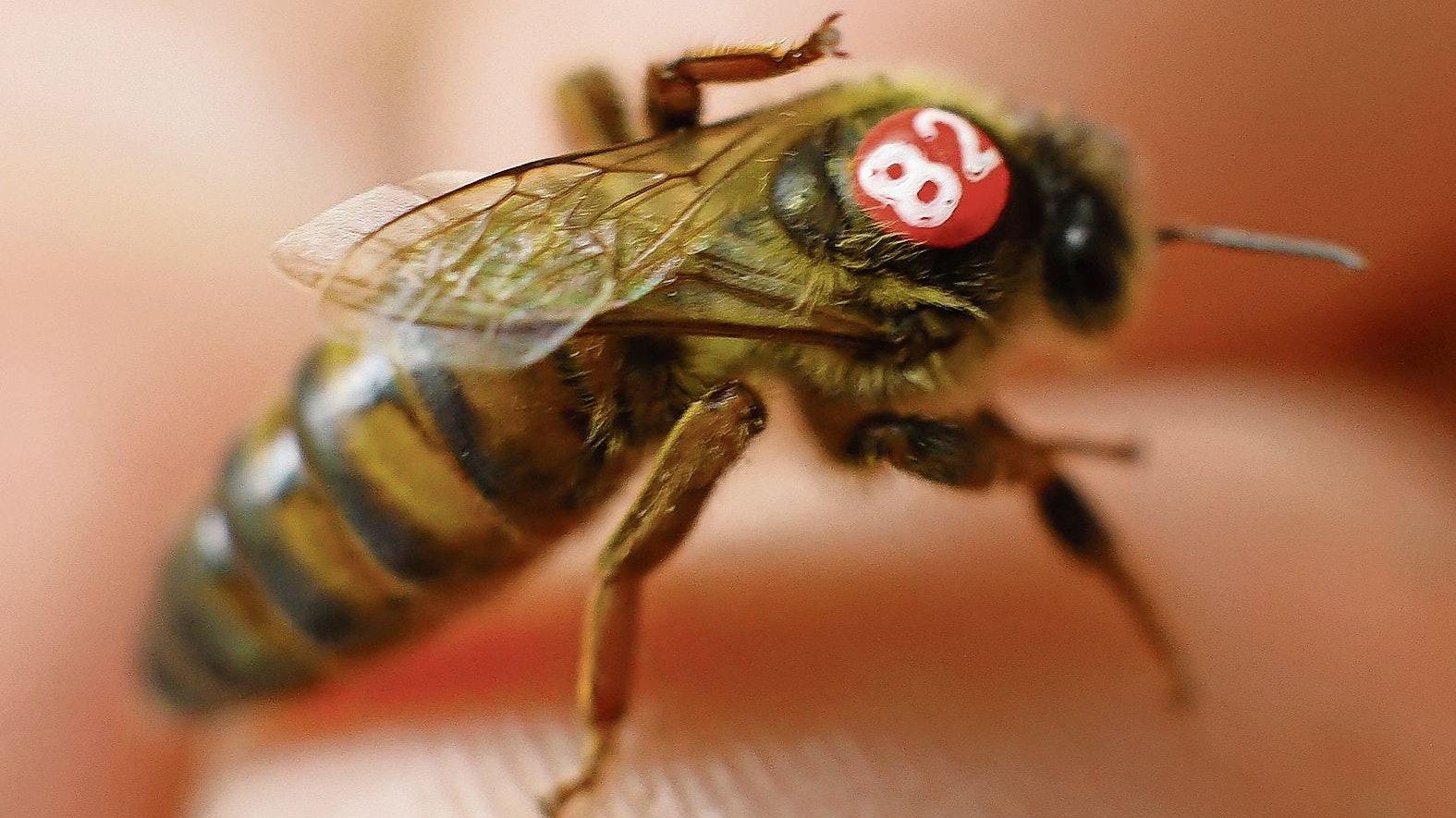 Wichtigste Biene: Um die Königin dreht sich alles in einem Bienenvolk. Sie allein sorgt für Nachwuchs. Foto: picture alliance / dpa | Peter Steffen