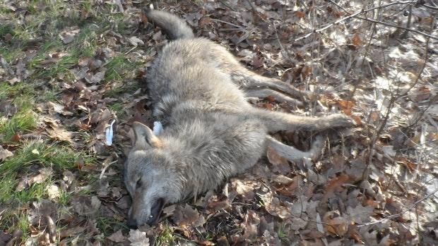 Zusammenstoß: Wolf stirbt bei Autounfall