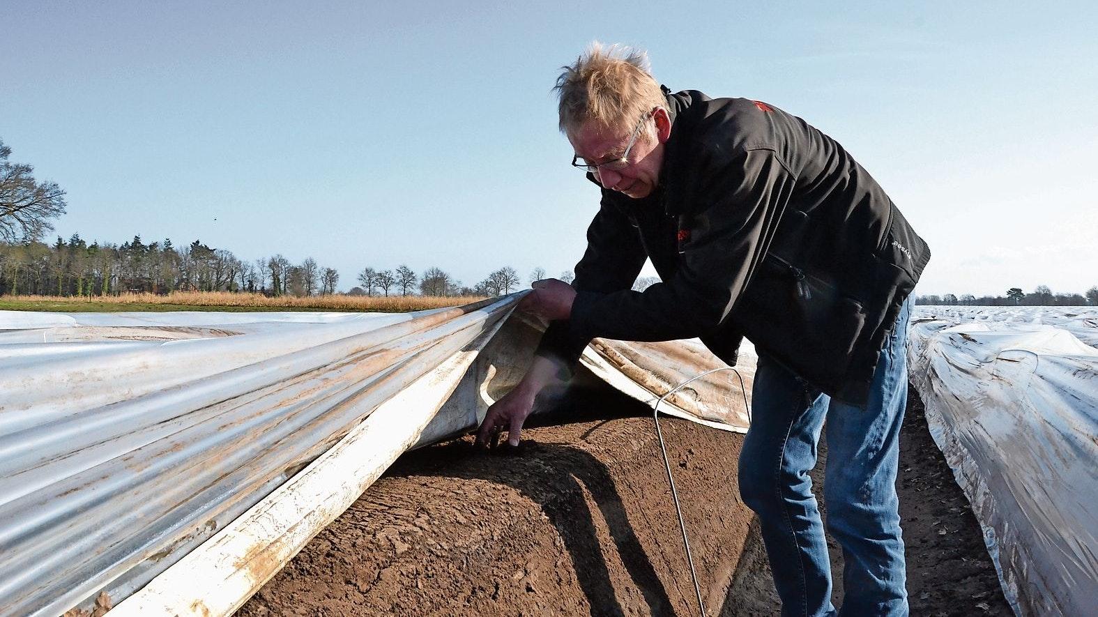 Er wächst: Berthold Niehaus prüft die Spargeldämme. Folien sorgen dafür, dass die Erde sich schneller erwärmt. Foto: Meyer