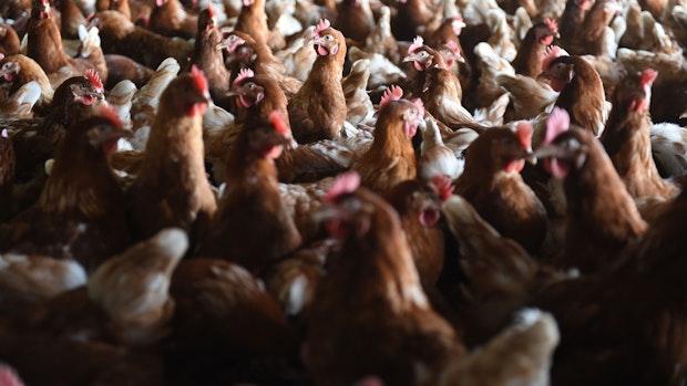 Erster Vogelgrippe-Ausbruch im Landkreis Vechta: 63.000 Legehennen werden getötet