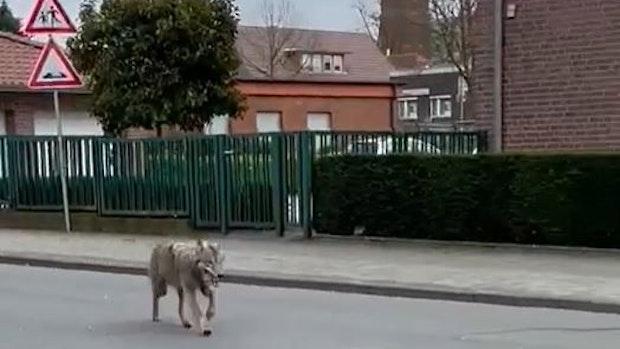 Im Video: Wolf streift durch die Lohner Innenstadt