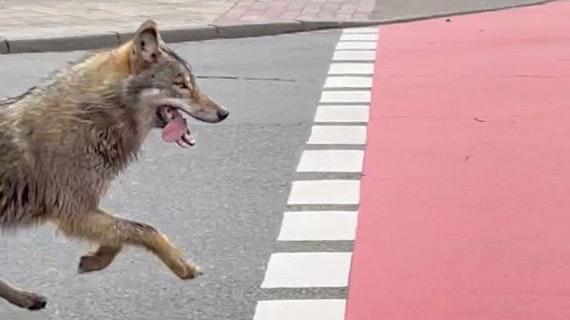 Wolf läuft durch die Lohner Innenstadt Richtung Küstermeyer-Gelände. Foto: Advantage Media Services