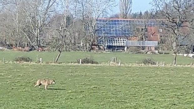Wolf wird mehrfach auf Streifzug rund um Barßel gesichtet