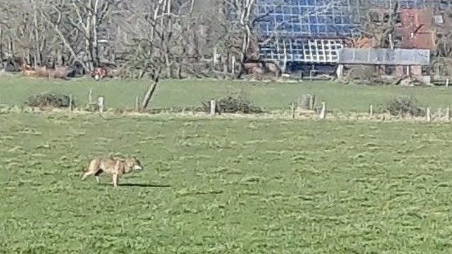 Mit der Kamera festgehalten: In Reekenfeld wurde dieser Wolf gesichtet. Foto: Coners