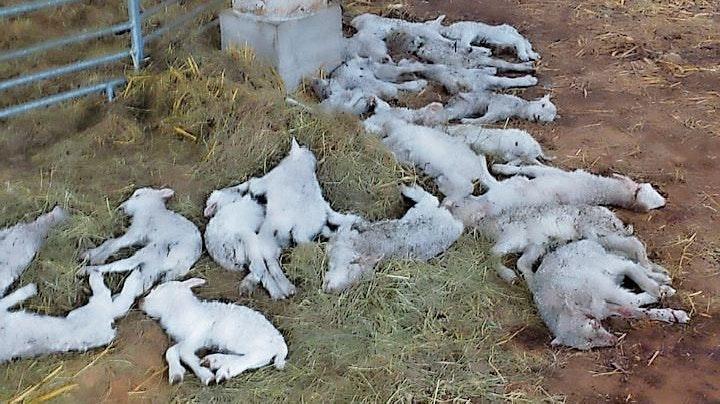 25 Lämmer wurden in einer Nacht getötet. Foto: Heymann