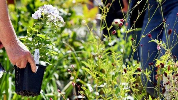 Polsterstauden stammen aus den alpinen Gebirgsregionen, daher brauchen sie kaum Dünger und einen nicht zu nassen Standort. Foto: dpa/Kalaene