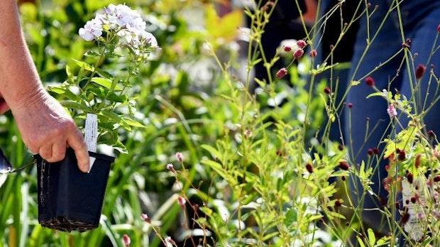 Wie bunte Kissen im Garten: Pflegetipps für Polsterstauden