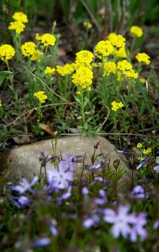 Eine schöne Kombination für den Garten: gelbes Steinkraut (Alyssum montanum) und Polster-Phlox (Phlox subulata). Foto: dpaWarnecke