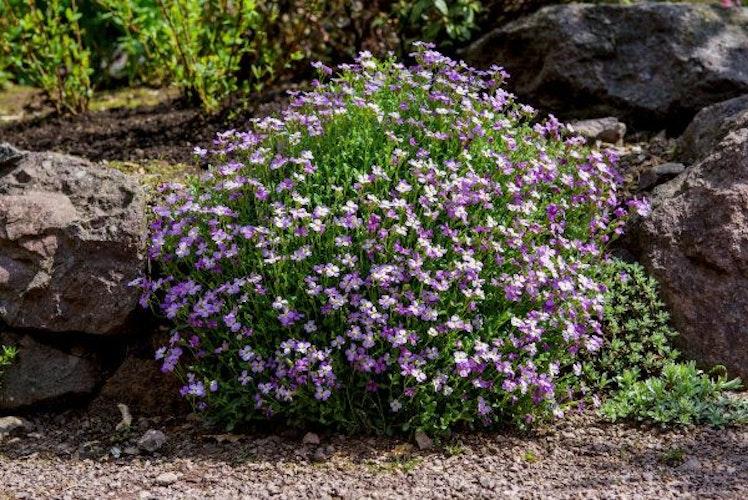 Blaukissen blühen üppig und gehören zu den weit verbreiteten Gattungen. Foto: dpaWelz