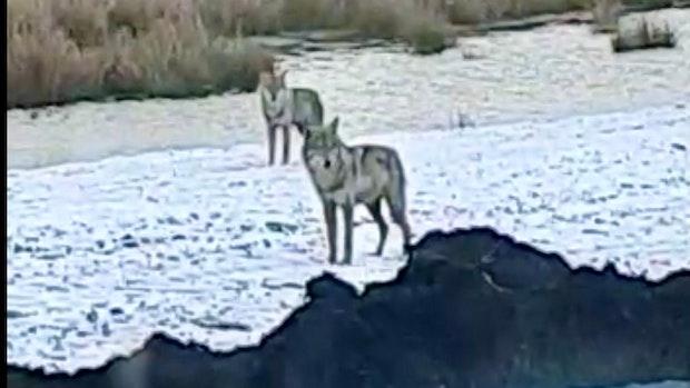 Ein neues Wolfspaar streift durch Campemoor