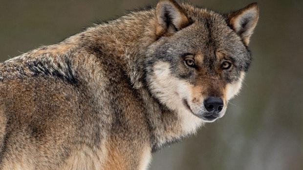 Immer mehr Wölfe werden überfahren