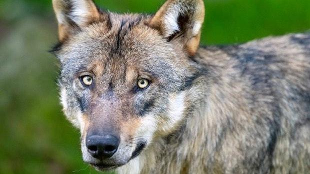 Geheime Wolfsjagd: Wieder ein Jungtier abgeschossen