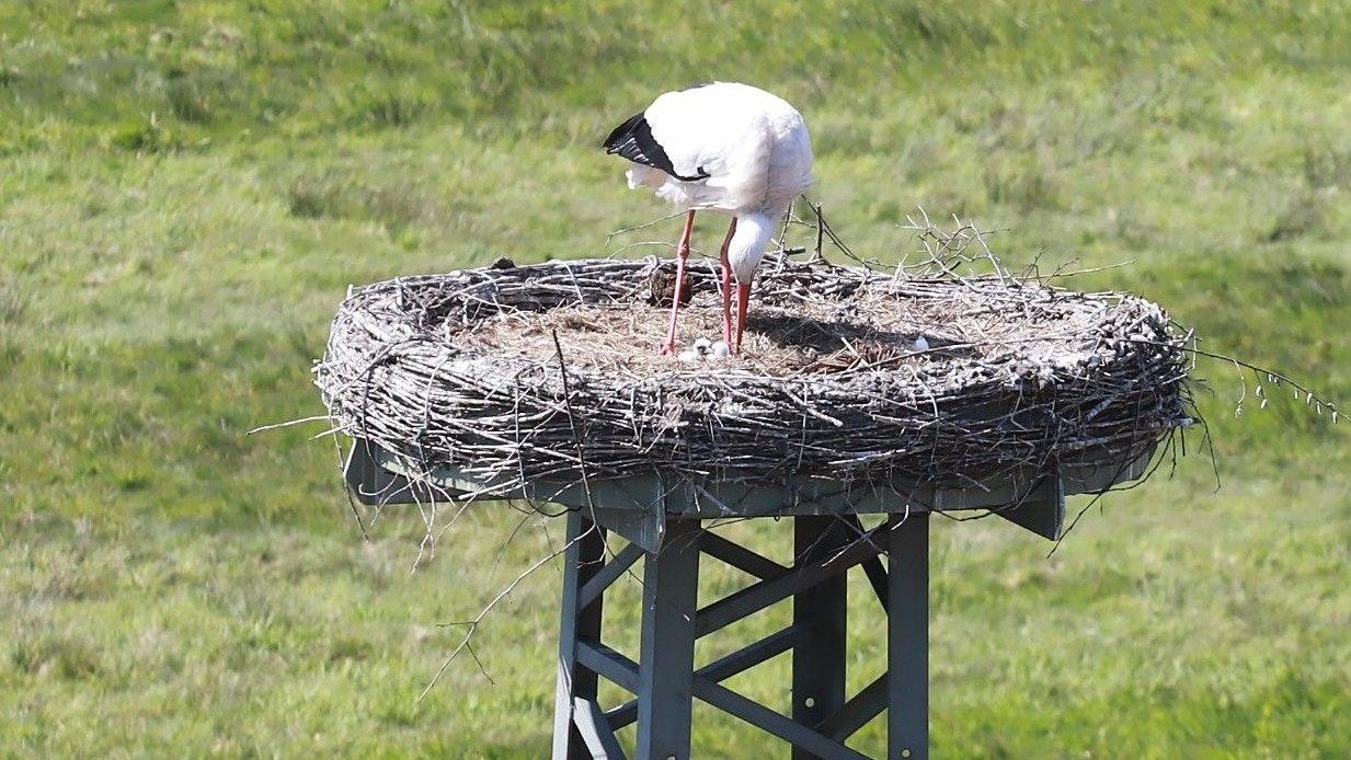 Nachwuchs in Barßel: Die beiden Jungstörche sind noch so klein, dass sie kaum im Nest zu erkennen sind. Foto: C. Passmann