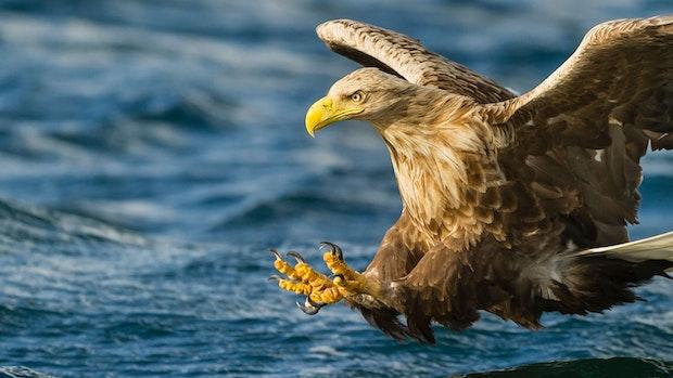 Seeadler: Neuer Bildband befasst sich mit dem Greifvogel, der auch am Dümmer brütet