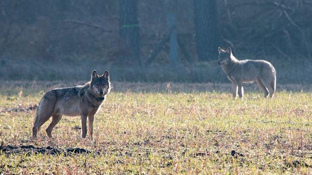 Nabu sieht hohe Akzeptanz von Wölfen in Deutschland