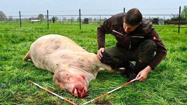 Im Wolfsrevier: Nach langer Zeit wird wieder ein schweres Rind gerissen