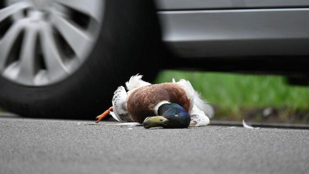Wo bleiben die toten Tiere aus dem Straßenverkehr?