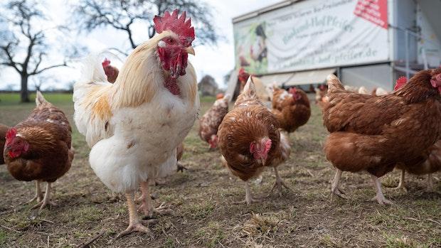 Geflügelpest: Landkreis Cloppenburg hebt Stallpflicht auf