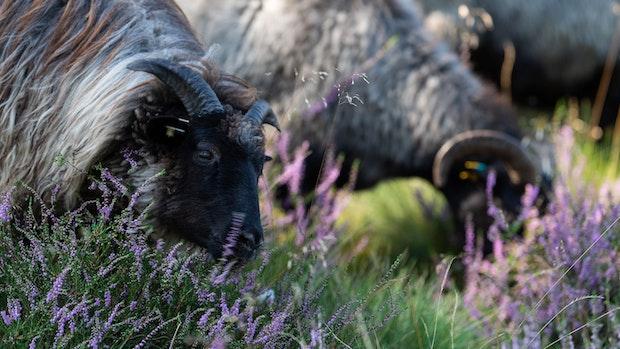 7 Schafe aus Linderner Naturschutzgebiet gestohlen