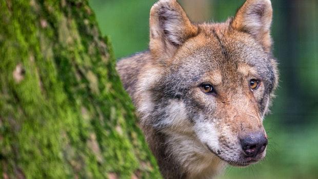 Land will Population der Wölfe erforschen