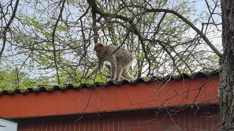 Auf Erkundungstour: Einer der beiden entlaufenen Affen. Foto: Polizei