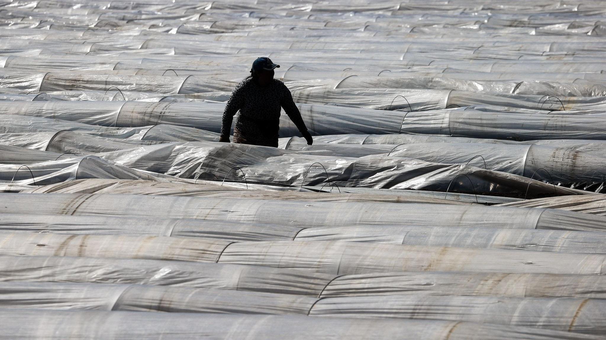 Sie gelten als unverzichtbar: Ausländische Erntehelfer auf Spargelfeldern. Foto: dpa/Charisius